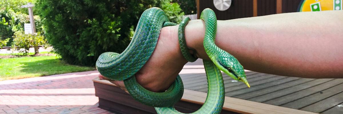 Rhino rat snake wrapped around white educator's arm