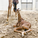 Mother giraffe nuzzles with her newborn calf