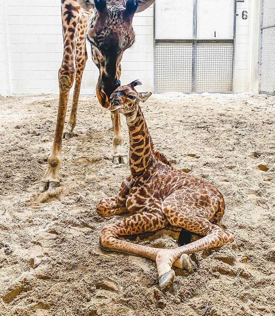 Mother giraffe nuzzles with her newborn calf