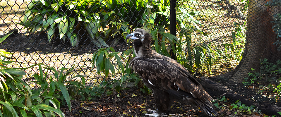 Cinereous vulture in habitat at zoo