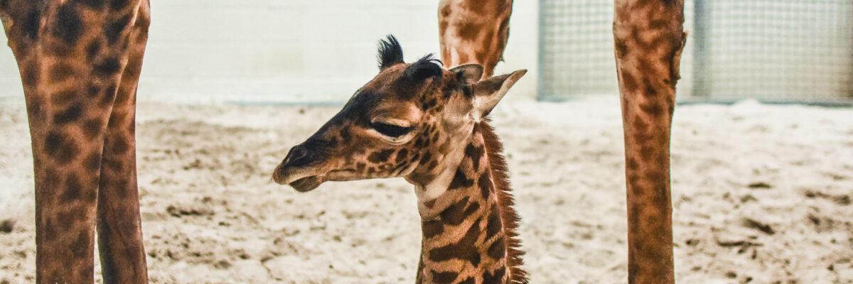 Baby giraffe sits at mom's feet