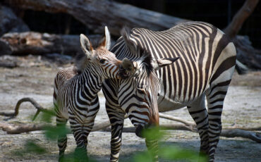 zebra foal nibbles on mom's ear
