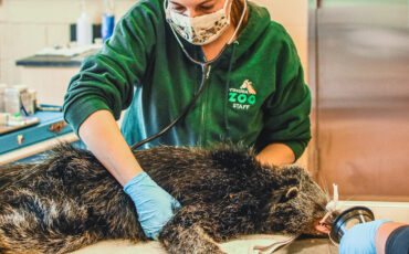 Zoo Vet examines a binturong with a stethoscope