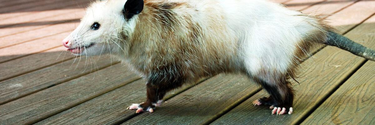 Opossum running across wood stage
