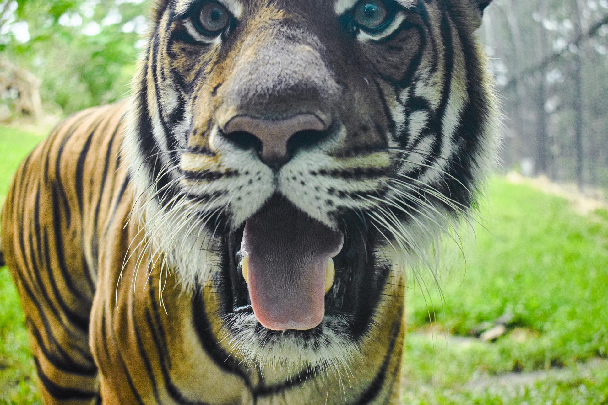 Explore Science Tiger
