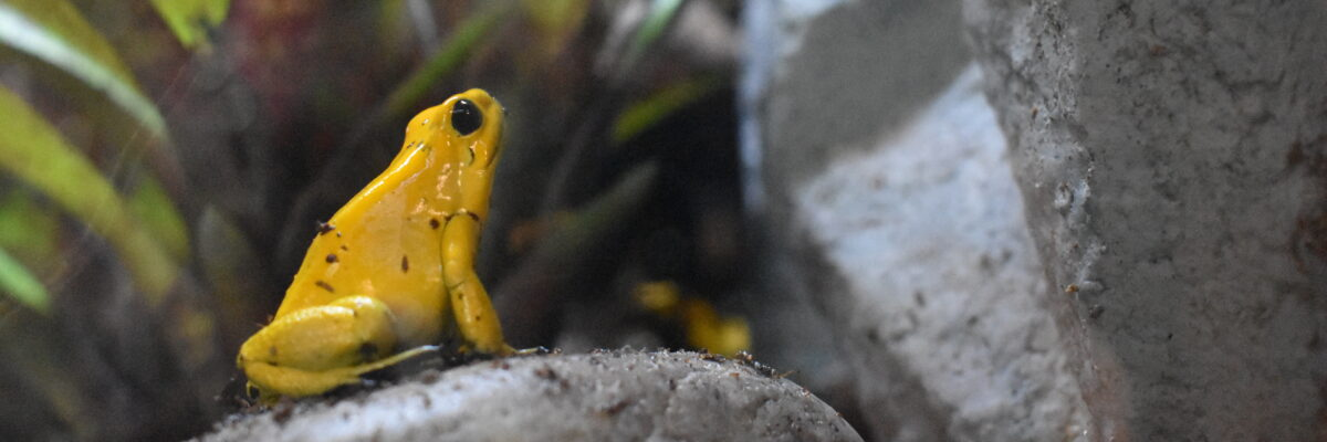 golden dart frog sitting on rock